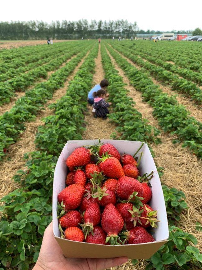 Strawberry picking in Surrey