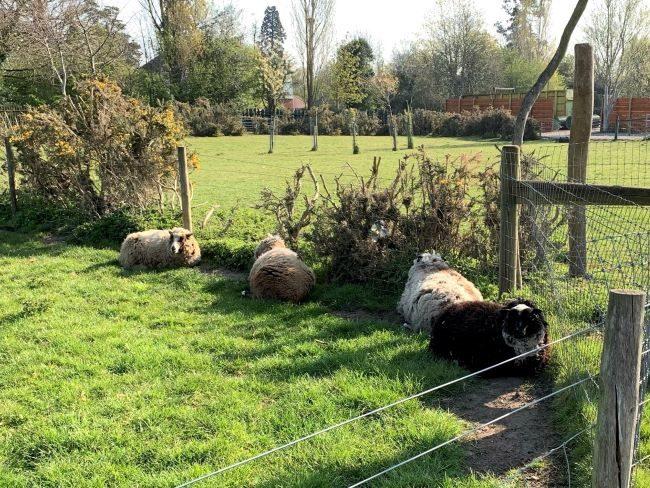 Sheep at Farm Park Surrey