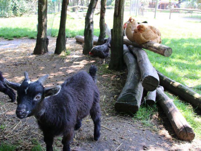 Goats at Farm Park Surrey