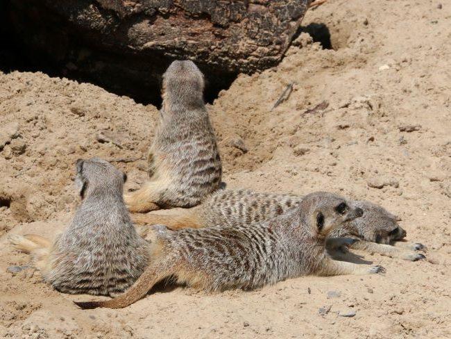 Meerkats at Hobbledown