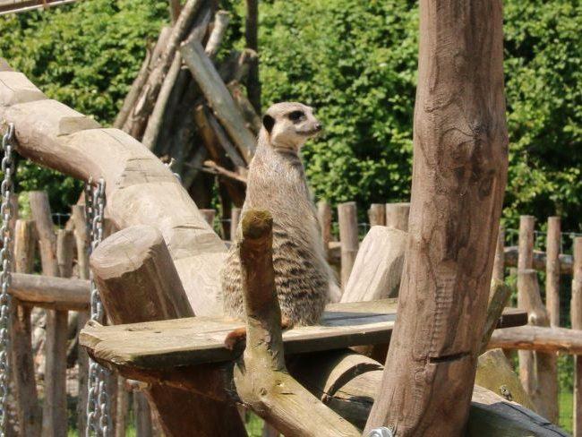 Meerkats Farm Park Surrey