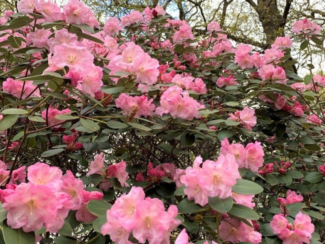 Rhododendrons Isabella Plantation