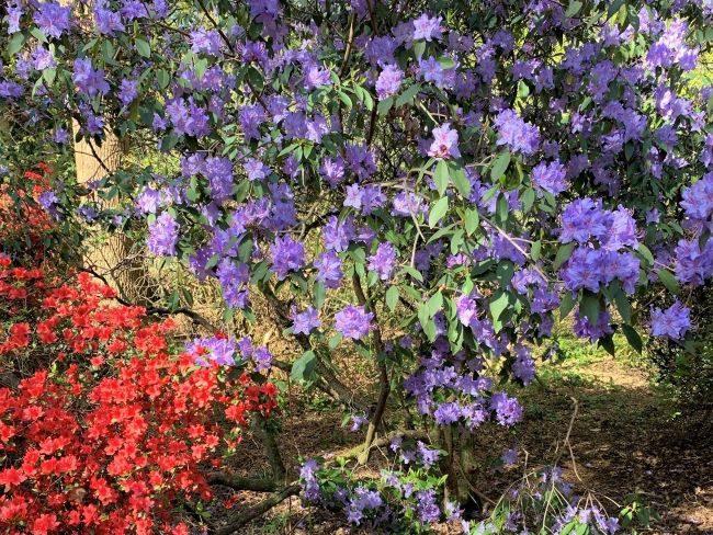 Azaleas and rhododendrons at Isabella Plantation