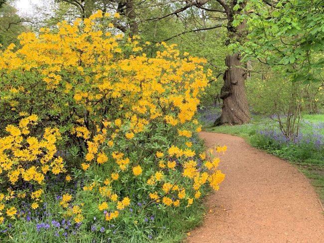Azalea pontica in Richmond Park