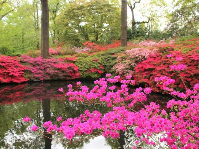 Azaleas at Still Pond