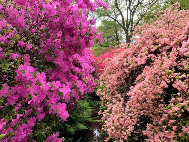 Azaleas Richmond Park