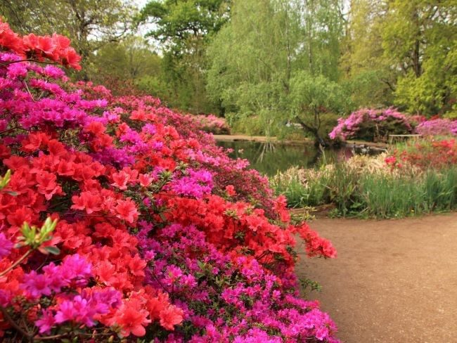 Thomson pond azaleas