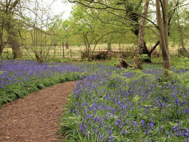 Bluebells at Isabella Plantation