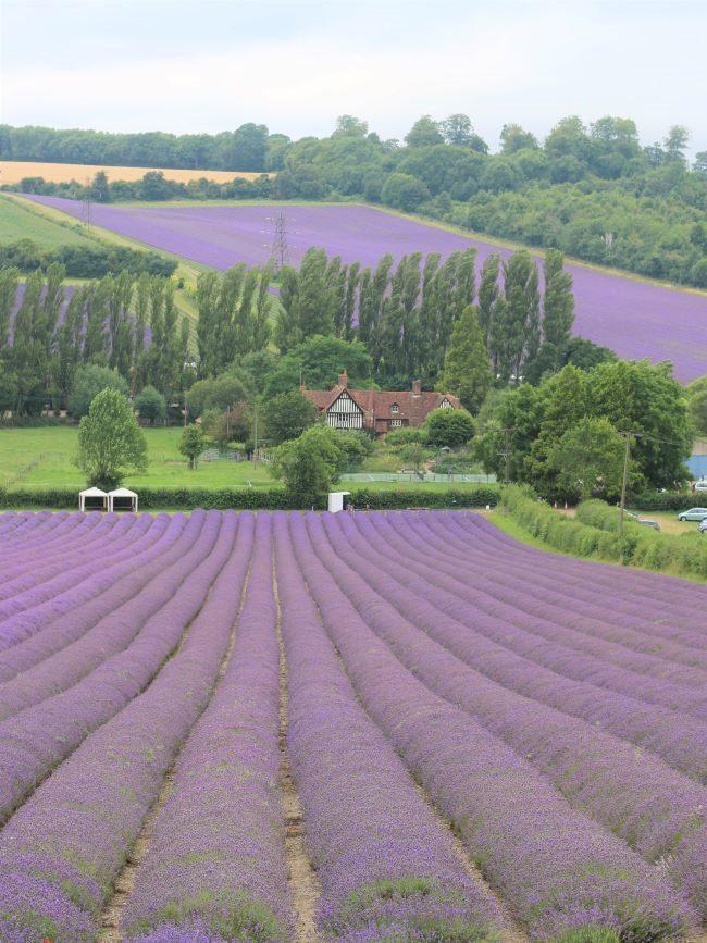 Kent Lavender Farm