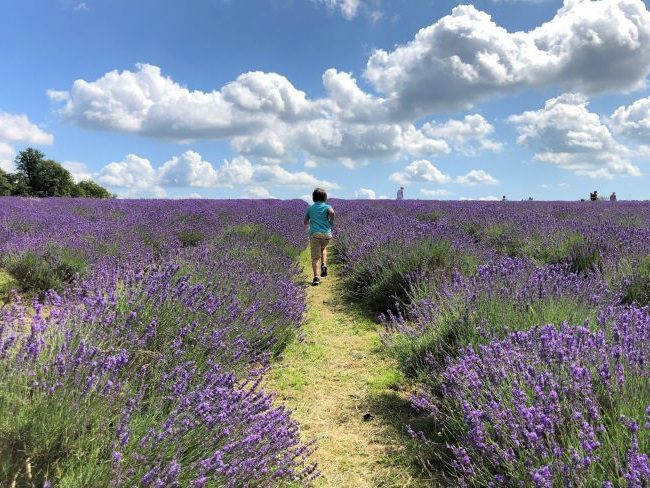 Lavender fields summer things to do