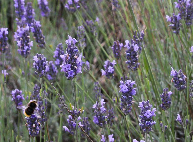 Lavender Farm near North London