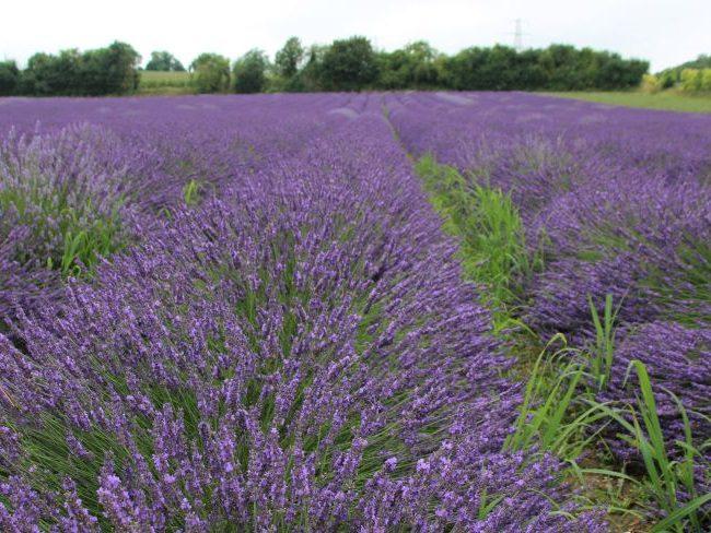 Castle Farm Lavender Fields Kent