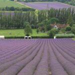 Lavender Farms near London