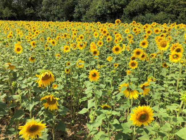 Sunflowers at the Pop up Farm