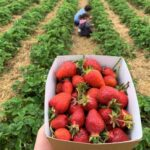 Pick Your Own Farms near London