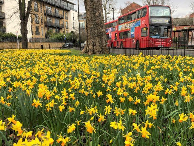 Daffodils in London