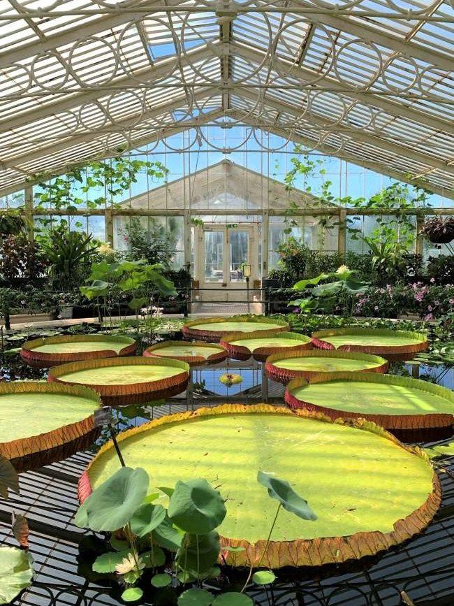 Giant Amazon Lily at Kew Gardens