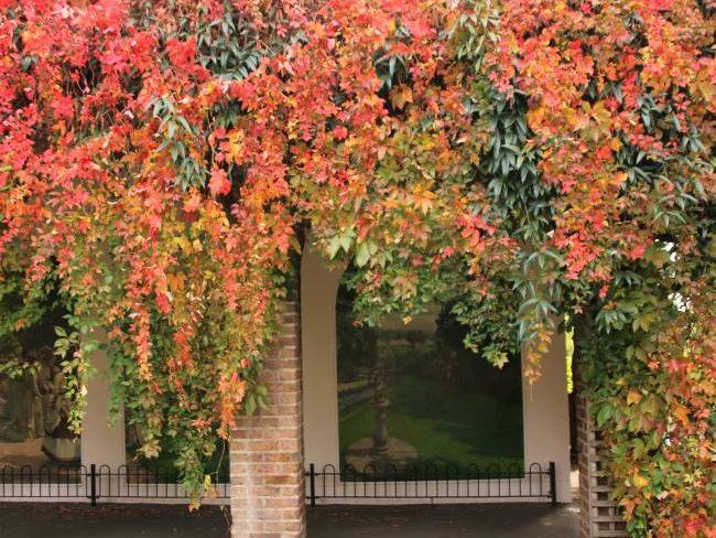 Holland Park Autumn Ivy