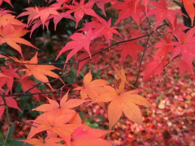 Autumn leaves Isabella Plantation