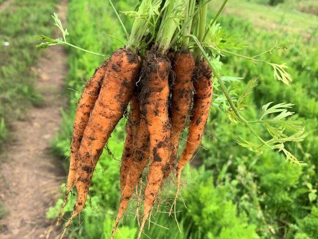 Picking carrots at Crockford Bridge Farm