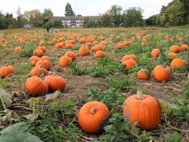 Pumpkin Patch Surrey