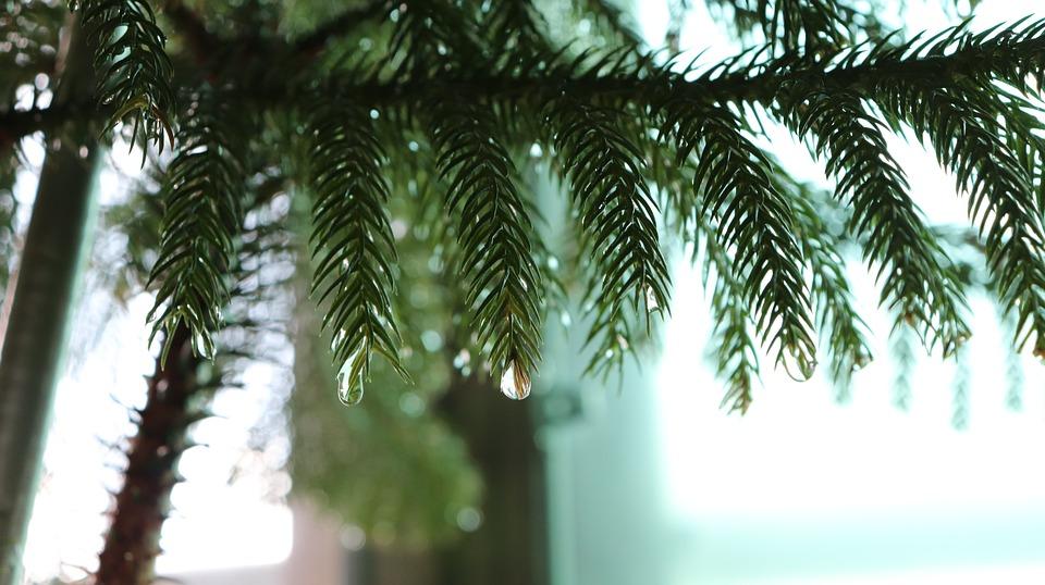 wet pine