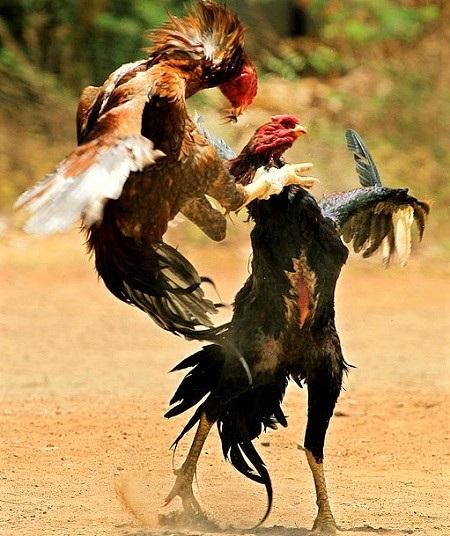 6 1 - Asil Chicken