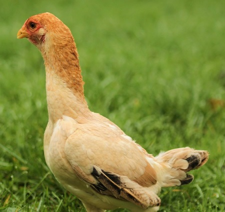 chicken 216502 1280 - Malay Chicken