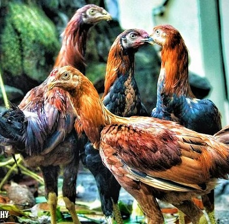 13 1 - Asil Chicken