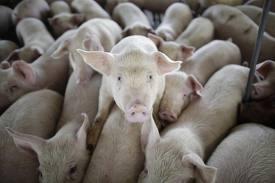 farm hogs