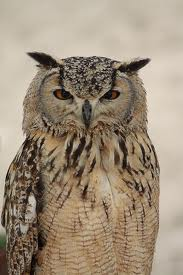wise owl 1