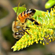 honey bees in willow tree