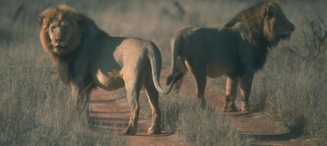 ZAMBIA LIFTS BIG CAT HUNTING BAN