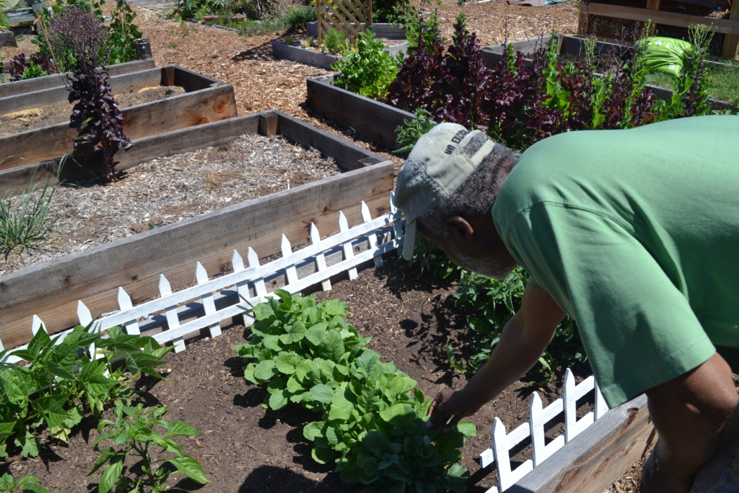 Community Partner, Kadumu Moyendo, of Black Storytellers of San Diego assists with maintaining Mt. Hope Community Garden