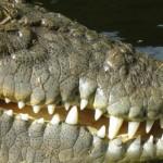 Un crocodile arrache le doigt d'un propriétaire de zoo