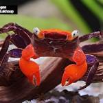 Deux nouvelles espèces de crabes vampires découvertes à Java