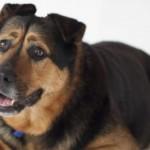 Mon chien détruit tout : serait-il anxieux ?