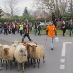 Le mouton, une tondeuse écologique