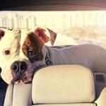 Conduire en toute sécurité avec pitou