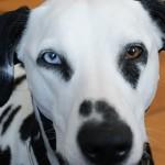 Les chiens auraient une mémoire de poisson rouge ? Retour sur une étude controversée.