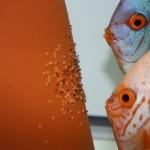 Les poissons aussi peuvent s'occuper de leurs bébés