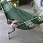Cool la vie de chien sur un hamac