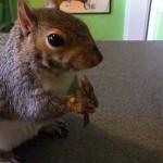 Wally l'écureuil mange avec sa fourchette!