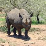 Un chasseur texan finalement autorisé à partir tuer un rhinocéros noir en Namibie