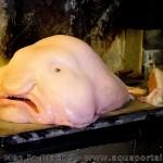 Que signifie blobfish ?