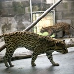 Près de 150 animaux saisis à des trafiquants et relâchés en Amazonie