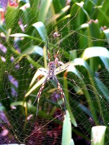 Golden_silk_orb-weaver