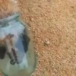 Que va devenir ce renard avec la tête coincée dans un bocal