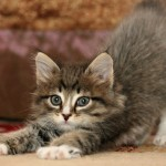 Comment supprimer l'odeur d'urine de chat?