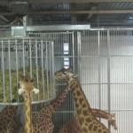 Éclipse. Et les animaux du zoo de Vincennes, comment l'ont-ils vécue ?
